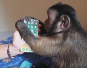 Ty oglądasz iPhone'a 8 w sieci, a ta małpa już go ma