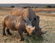 Jak Internet Rzeczy, sieci komórkowe izebry mogą uratować nosorożce?