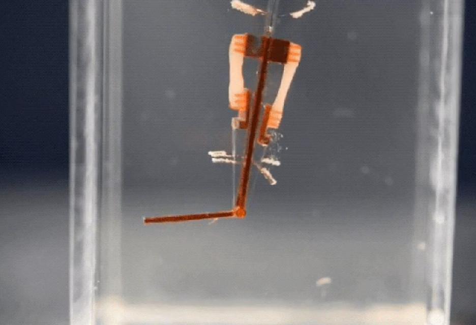 Prototyp robota biohybrydowego naukowców z University of Tokio