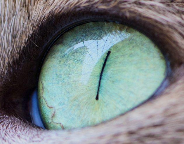 Oko kot - oryginal