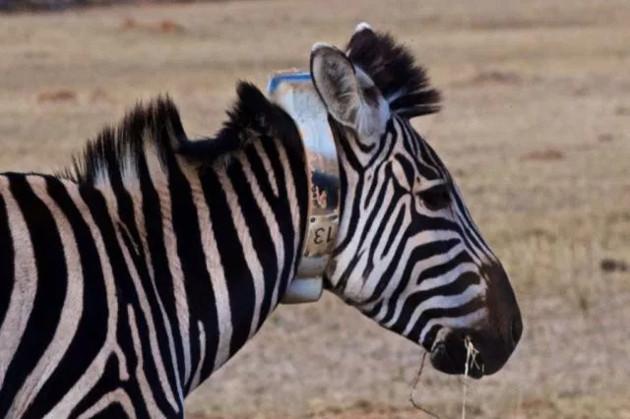 IBM zebra
