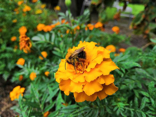 Honor Play zdjecie pszczoła AI
