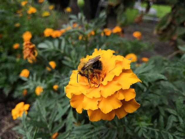 Honor Play zdjęcie pszczoła standard