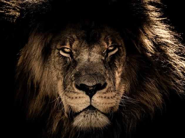 Lew zbliżenie